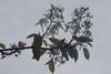 Amélanchier en fleurs! / Service berry in spring! (Pentax_clic) Tags: amélanchier fleurs arbre mai 2018 robert warren vaudreuil quebec pentax kx imgp6498