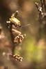 Heidehaantje - Lochmaea suturalis - Heather Beetle (merijnloeve) Tags: heidehaantje lochmaea suturalis heather beetle rozendaal heideterrein ge gemeente veluwe arnhem hoge hooge veluwezoom heide struikhei