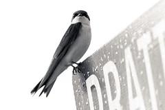 DSC_4370 (Stacey Conrad) Tags: d7500 nikon bird summerfield willowstreet pa
