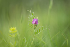 Look at me! (Emma Varley) Tags: flower wildflower commonvetch pink green dreamy soft westsussex may