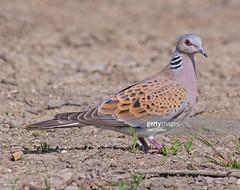 Turtle Dove (Gary Chalker, Thanks for over 3,000,000. views) Tags: turtledove dove bird pentax pentaxk3ii k3ii pentaxfa600mmf4edif fa600mm 600mm