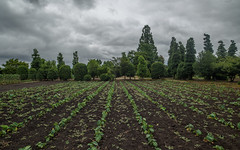 Taro field. (Yasuyuki Oomagari) Tags: field line tree green object gardening cloud cloudy nikon d810 zeiss distagont2821 japan fukuoka landscape 福岡県 日本 風景写真 九州 田舎 畑