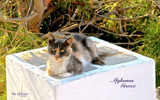 BEAUTIFUL FEMALE CAT in MYKONOS GREEK ISLAND