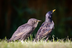 First Youngsters (Photography - KG's) Tags: bird birds starling animals wildlife garden babies nature