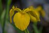 Yellow Petal (Pejasar) Tags: blossom yellow petal bloom tulsa oklahoma garden nikon d7200
