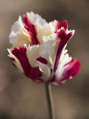 Tourbillon de crème fouettée et coulis de framboise **---+ (Titole) Tags: tulip parrottulip tulipeperroquet red white titole nicolefaton shallowdof thechallengefactory 15challengeswinner