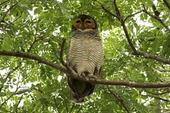 Strix seloputo (Spotted Wood Owl) - PRP, Singapore (Nick Dean1) Tags: strixseloputo spottedwoodowl animalia chordata aves pasirrispark singapore