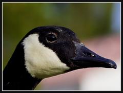 Howdy (VegasBnR) Tags: nikon sigma nature nevada vegasbnr vacation goose macro majestic blackandwhite bird close eyes geo gimp