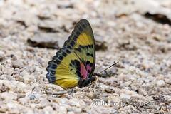 Euphaedra janetta (Hiro Takenouchi) Tags: ghana nymphalidae insect butterflies butterfly schmetterling papillon nymphalid wildlife nature africa limenitidinae euphaedra