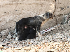 Chow Time (Roblawol) Tags: canine dogs elagustino feeding latinamerica lima lunch meal mom mother peru pet pets puppies rocks southamerica stones