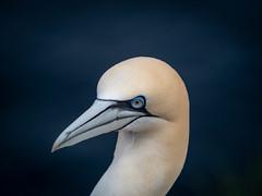 Gannet (burnsmeisterj) Tags: olympus omd em1 bird gannet trouphead rspb wildlife nature