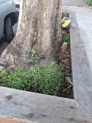 purple salvias just planted (Liz Henry) Tags: cameraphone