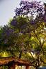 SEMANA SANTA (NIKONIANO) Tags: jacaranda semanasanta natural nature tree trees arbre michoacán méxico