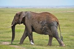 Саванный слон, Loxodonta africana, African Savanna Elephant (Oleg Nomad) Tags: саванныйслон loxodontaafricana africansavannaelephant африка кения амбосели слон природа сафари africa kenya amboseli safari animals nature travel