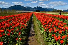 Tulips of the Valley Festival (SonjaPetersonPh♡tography) Tags: tulipsofthevalley tulips tulipfestival tulipfields tulipsofthevalleyfestival fraservalley bc britishcolumbia canada nikon nikond5300 landscape fields pacificnorthwest scenic scenery