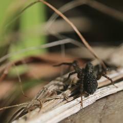Come into my parlour... (Kez West) Tags: hbbbt arachnid spider macro garden nature wolfspider