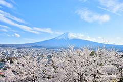 Mt. Fuji (Jennifer 真泥佛) Tags: 富士山 mtfuji 日本 山梨縣 櫻花 滿開 sunset cherryblossom 日本風景影像 日本風景 日本風景圖庫 日本花卉 花卉圖庫 日本櫻花 日本楓葉 日本追雪 日本鐵道風景圖庫