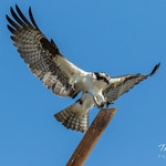 Osprey leaps and lands thumbnail