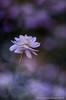 Renoncule a feuille d'aconite (Manonlemagnion) Tags: nature sauvage plante fleur blanche renoncule blanc macro bokeh nikond7000 105mm28