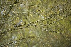 Cuckoo (Benjamin Joseph Andrew) Tags: bird migrant visitor migratory woodland grassland spring perching looking sitting