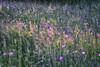 Maiwiese (_andrea-) Tags: sonyalpha7mii carlzeiss mount planart1450 50mm objektiv wiese meadow mai may licht light