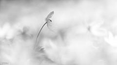 Hallerbos 1 (am_boere) Tags: zwartwit blankandwhite bw zw macro flowers bloemen 70200mm hallerbos bosanemoon woodanemone anemone minimalistisch