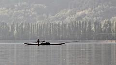 Pine trees (Nagarjun) Tags: dallake weeds manure boats boatmen srinagar kashmir jk light dawn sunrise