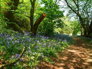 Walk in bluebell wood