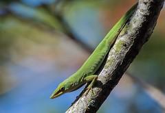 Little Green Lizard (ACEZandEIGHTZ) Tags: anolis green anole carolinensis nature lizard nikon d3200 branch tree bokeh reptile alittlebeauty coth coth5 sunrays5