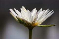 White petals (leewoods106) Tags: lotus lotusflower stem white green flower thailand ayutthaya southeastasia asia fareast east