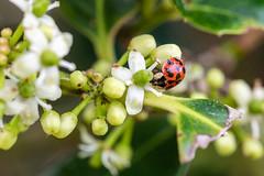 Little Ladybug (norasphotos4u) Tags: flowersplants canonef100mmf28lisusmmacro flickr insects macro social ©noraleonard canon5dmkiv