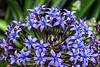 Portuguese Squill (AngelVibePhotography) Tags: purple closeup blossom colorful macro portuguesesquill nature nikon outdoor flower beautiful northcarolina brightcolors plumgrandiflorarose blue outdoors lily plant blooms garden nikonp900 flowers petals blossoms scilla raleighnc cubanlily springtime