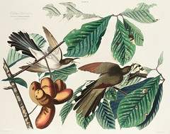 Yellow-billed Cuckoo from Birds of America (1827) by John James Audubon (1785 - 1851 ), etched by William Home Lizars (1788 - 1859). The original Birds of America is the most expensive printed book in the world and a truly awe-inspiring classic. (Free Public Domain Illustrations by rawpixel) Tags: birdsofamerica coccyzusamericanus johnjamesaudubon williamhomelizars yellowbilledcuckoo america bird cuckoo