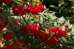 Red flowers (Lou Lou Hamster) Tags: red flowers nature garden dorset abbotsbury pretty trees shrubs uk maytime summer spring