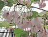 奧都櫻 Cerasus serrulata v longipes Miyoshi   [日本大阪造幣局  Japan Mint, Osaka] (阿橋花譜 KHQ Flower Guide) Tags: 櫻花 cherryblossom sakura 薔薇科 rosaceae cerasus