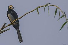 CALAO    ----    HORNBILL (Ezio Donati is ) Tags: uccelli birds animali animals natura nature alberi trees cielo sky africa costadavorio yamoussoukroarea
