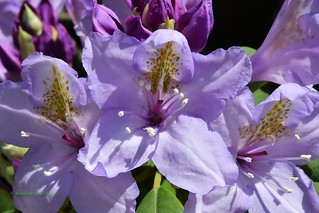 Mes rhododendrons rien que pour vos yeux !