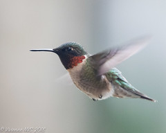Welcome back! (SF knitter) Tags: illinois lakecounty rubythroatedhummingbird bird garden hummingbird