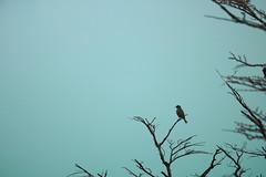 A Bird on a Branch (benjamin.t.kemp) Tags: bird blue branch black atmospheric calm nature simple minimal coloursinourworld negativespace