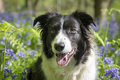 Pops in the bluebells (Keartona) Tags: poppy etherowcountrypark woods woodland sunny spring morning dog bordercollie face happy smiling panting greenery green bluebells blue nature england