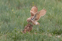 Burrowing Owl mating sequence - 1 of 22
