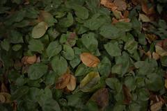 jdy318XX20171114a5545-2.jpg (rachelgreenbelt) Tags: ghigreenbelthomesinc usa eudicots greenbelt northamerica midatlanticregion ouryard orderranunculales familyberberidaceae maryland americas epimediumgenus berberidaceae berberidaceaefamily magnoliophyta epimedium epimediumunidentifiedvariety floweringplants oneplant ranunculales ranunculalesorder singleplantportrait spermatophytes