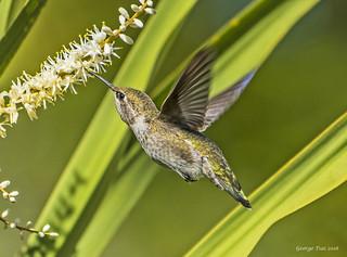 Anna's hummingbird w/Yucca flower