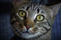 Sheggia quando sente la parola... Veterinario (ornella sartore) Tags: gatto animale colori particolari occhi