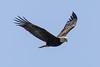 Bald Eagle (JohnReynolds2012) Tags: 2018 vancouver bc wildlife bird inaturalist canada birds animals coquitlam britishcolumbia ca