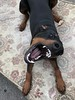 Respect My Authorita - Angry Dobermann (firehouse.ie) Tags: animal animals dogs dog male saxon pinscher pinsc pinschers dobermanns dobermans dobermann doberman dobies dobie dobeys dobey dobes dobe