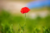 Simple Thing (moaan) Tags: hyogo japan jp kobe flower flowering flora poppy firstpoppy plant outdoors light sunlight focusonforeground depthoffield bokeh bokehphotography canon canonphotography canoneos5dsr ef70200mmf28lisiiusm2x utata 2018