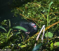 Adventuring (Katy Wrathall) Tags: 2018 may spring birds chick garden moorhen pond