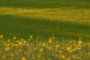 R(h)apsody in Yellow (W_von_S) Tags: yellowrapefield gelbesrapsfeld yellow gelb raps rape rhapsodie rhapsody impression natur nature rural landschaft landscape ländlich feld field mai may spring frühling ebersberg bavaria bayern wvons werner sony sonyilce7rm2 outdoor sunset sonnenuntergang golden light licht focus fokus depthoffield schärfentiefe schatten shadows bokeh 2018 abstrakt abstract grafisch minimalism minimalistisch textur büten blossoms
