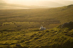 sheep and lamb (Jacob Y) Tags: brecon wales mountain landscape sheep nature wildlife rolling hills lamb animal sunrise